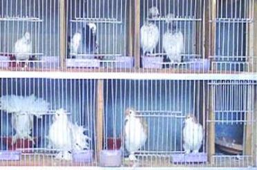 শার্শার গোগা সীমান্তে ভিন্ন প্রজাতির কবুতর-রাজহাঁস আটক