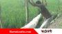 হাতীবান্ধায় সরকারী গাছ কাটার অভিযোগ