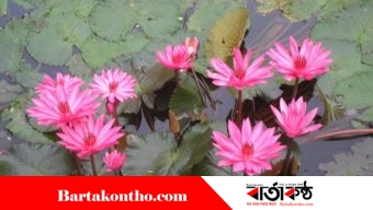 পদ্মা কন্যা রাজবাড়ীতে বিলুপ্তির পথে লাল শাপলা